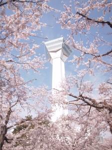 函館 五稜郭 桜