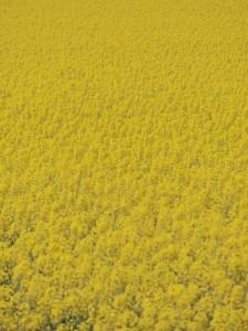 滝川 菜の花
