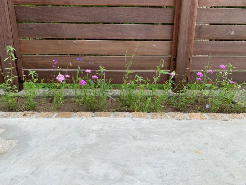 紫竹ガーデンのワイルドフラワーミックスシードが咲いた