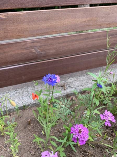 紫竹ガーデンのミックスフラワーシードで咲いた花