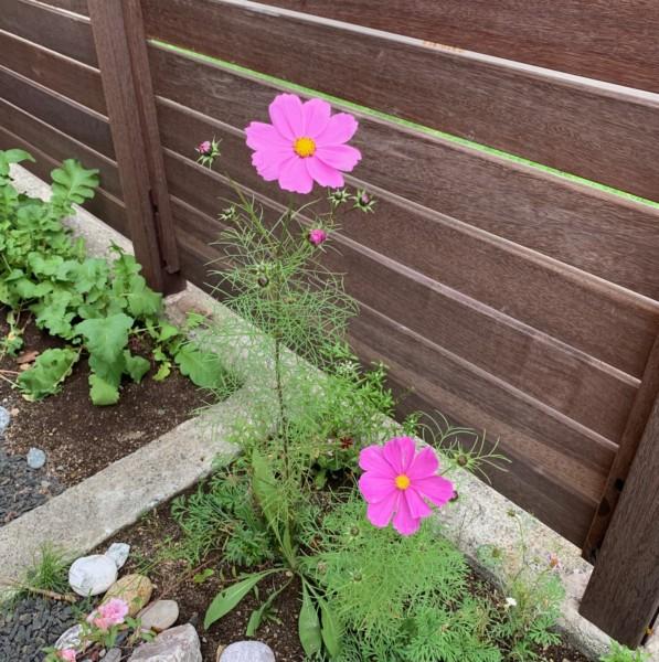 紫竹ガーデンのミックスシードでコスモスが咲きました