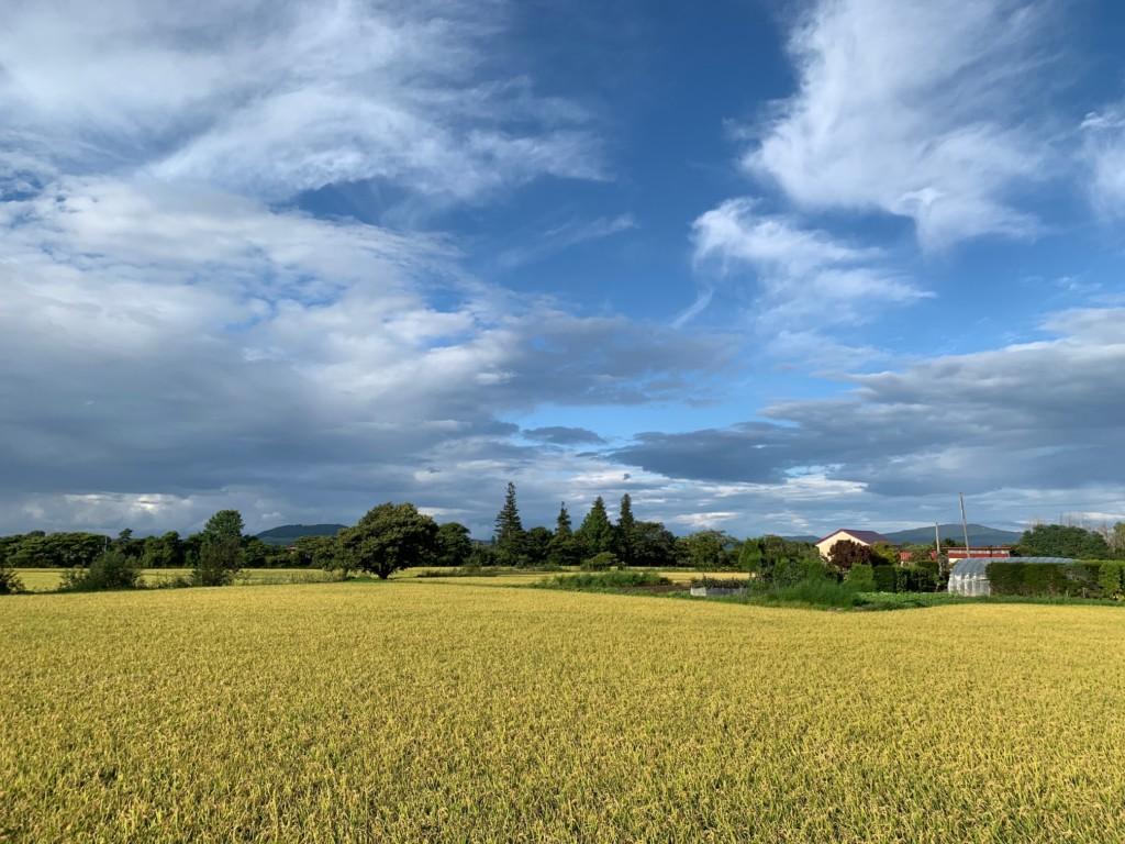 収穫間近の深川のお米